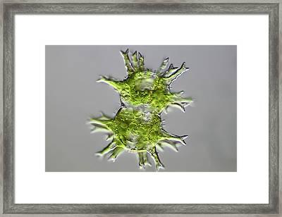 Green Algae Framed Print by Frank Fox