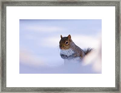 Grey Squirrel In Snow Framed Print by Jeff Sinon