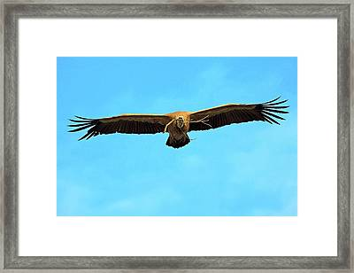 Griffon Vulture In Flight Framed Print by Bildagentur-online/mcphoto-schaef