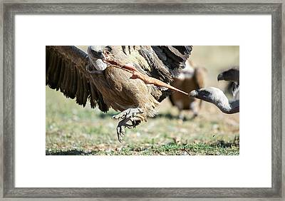 Griffon Vultures Feeding Framed Print by Nicolas Reusens