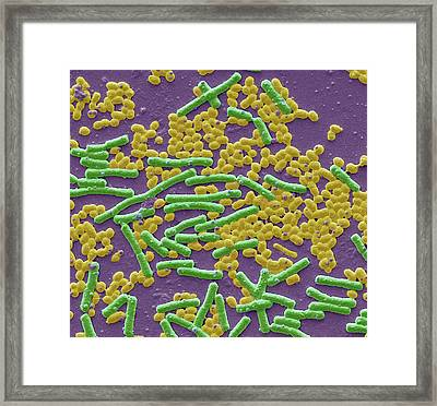 Haemolytic Streptococcus And E Coli Framed Print by Steve Gschmeissner