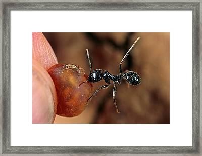 Harvester Ant Framed Print by Frank Fox