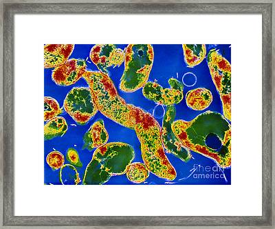 Helicobacter Pylori Bacteria Framed Print by Cnri