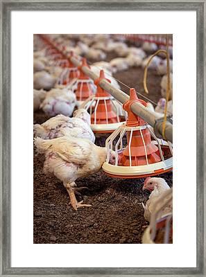Hens Feeding From A Trough Framed Print by Aberration Films Ltd
