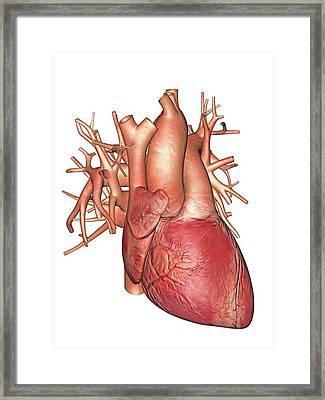 Human Heart Framed Print by Alfred Pasieka