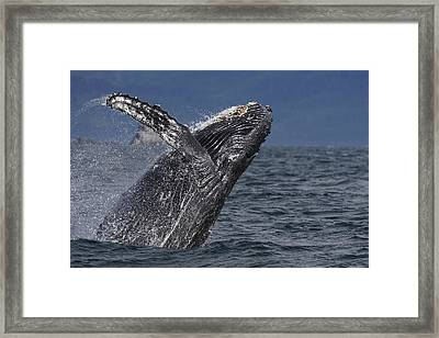 Humpback Whale Breaching Prince William Framed Print by Hiroya Minakuchi