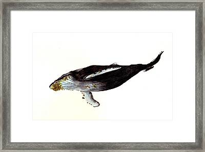 Humpback Whale Framed Print by Michael Vigliotti