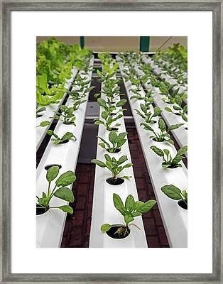 Hydroponic Spinach At A Hospital Farm Framed Print by Jim West
