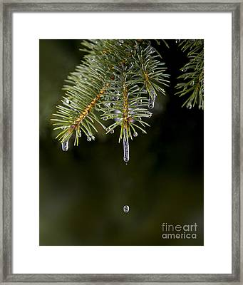 Ice Cicles Melting On A Pine Branch Framed Print by Twenty Two North Photography