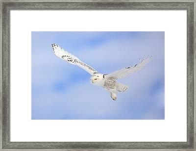 In Flight - Snowy Owl Framed Print by Keith R Crowley