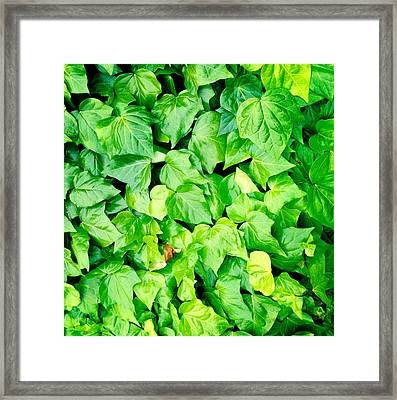 Ivy Framed Print by Les Cunliffe