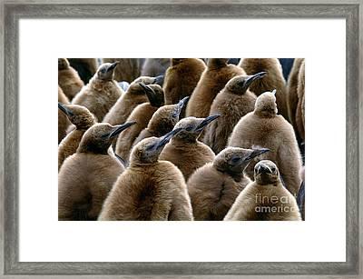King Penguin Chicks Framed Print by Art Wolfe