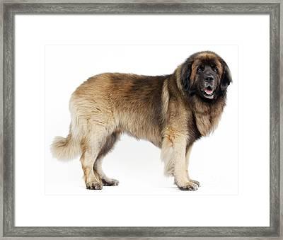 Leonberger Dog Framed Print by Jean-Michel Labat