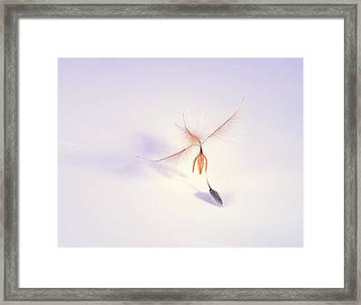 Leucadendron Rubrum Seed Framed Print by Cordelia Molloy