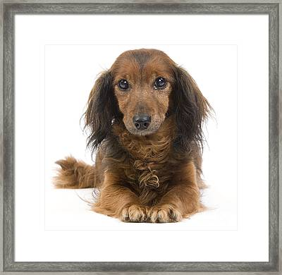 Long-haired Dachshund Framed Print by Jean-Michel Labat