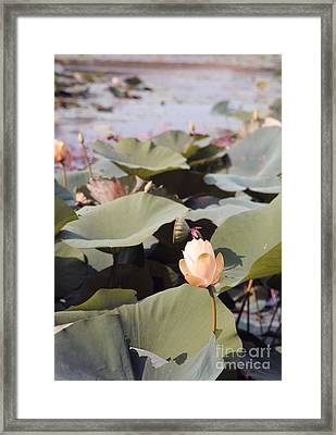 Lotus  Framed Print by Amanda Barcon