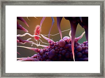 Macrophage Engulfing Bacteria Framed Print by Tim Vernon