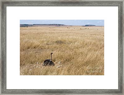 Male Ostrich Sitting On Communal Eggs Framed Print by Gregory G. Dimijian, M.D.