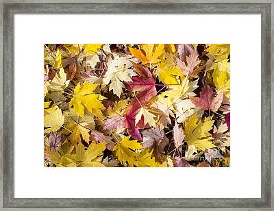 Maple Leaves Framed Print by Steven Ralser