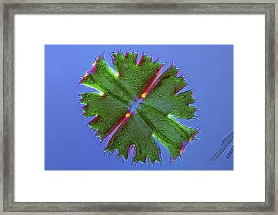 Micrasterias Desmid, Light Micrograph Framed Print by Science Photo Library