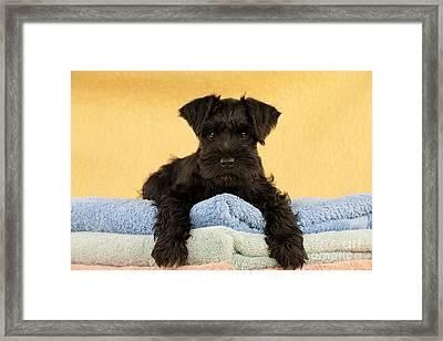 Miniature Schnauzer Puppy Framed Print by John Daniels