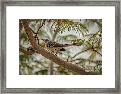 Mockingbird Framed Print by Robert Bales