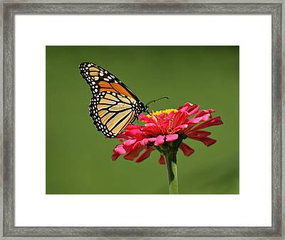 Monarch Butterfly Framed Print by Sandy Keeton