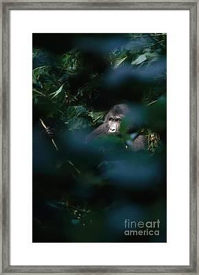 Mountain Gorilla Framed Print by Art Wolfe