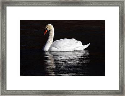 Mute Swan Framed Print by Jim Nelson