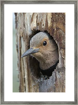 Northern Flicker In Nest Cavity Alaska Framed Print by Michael Quinton
