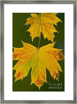 Norway Maple Acer Platanoides Framed Print by Bob Gibbons