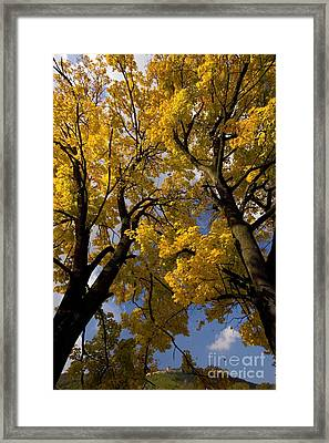 Norway Maples Acer Platanoides Framed Print by Bob Gibbons
