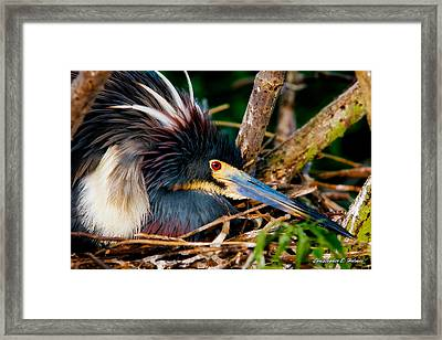 On The Nest Framed Print by Christopher Holmes