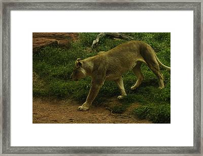 On The Prowl Framed Print by Lindy Spencer