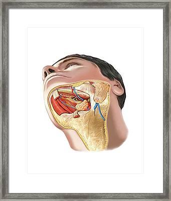 Oral Glands Framed Print by Asklepios Medical Atlas