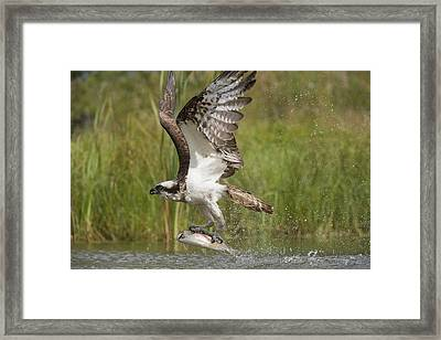 Osprey Catching A Fish Framed Print by Science Photo Library