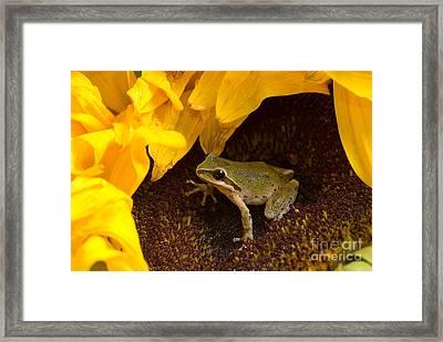 Pacific Treefrog On Sunflower Framed Print by Dan Suzio