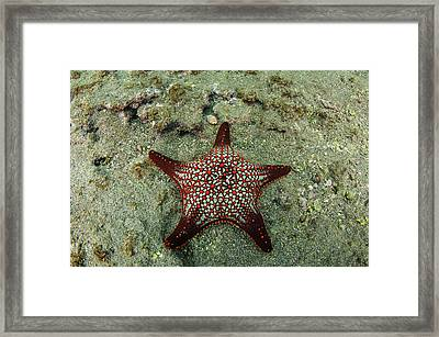 Panamic Cushion Star (pentaceraster Framed Print by Pete Oxford