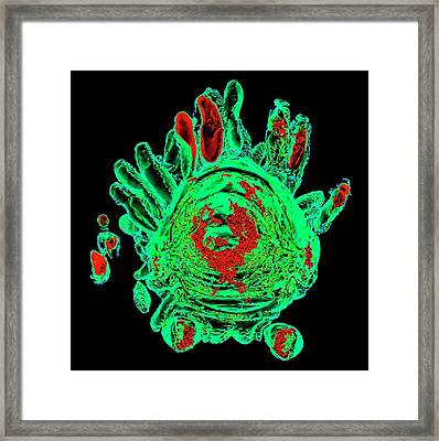 Parasitized Silkworm Framed Print by K H Fung