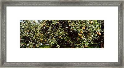 Pear Trees In An Orchard, Hood River Framed Print by Panoramic Images