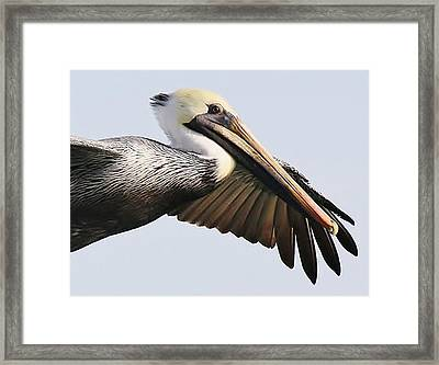 Pelican Up Close Framed Print by Paulette Thomas