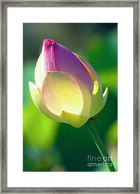 Pink Lotus Bud Framed Print by Heiko Koehrer-Wagner