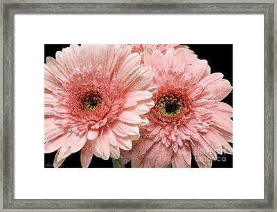 2 Pink Painterly Gerber Daisies Framed Print by Andee Design