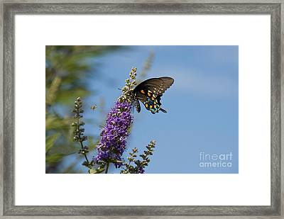 Pipevine Swallowtail Butterfly Framed Print by Richard and Ellen Thane