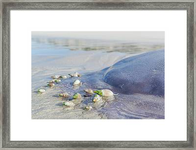 Ploughshare Snails Feeding On Jellyfish Framed Print by Peter Chadwick