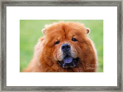 Portrait Of Chow Chow Dog Framed Print by Michal Bednarek