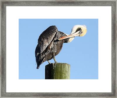 Pretty Pelican Framed Print by Paulette Thomas