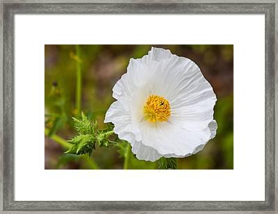 Prickly Poppy Framed Print by Mark Weaver