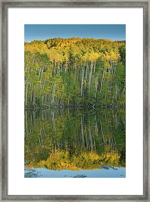 Quaking Aspen (populus Tremuloides Framed Print by Howie Garber