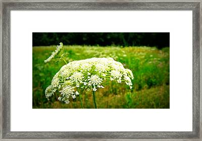 Queen Anne's Lace Framed Print by Carol Toepke